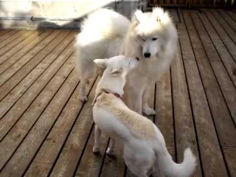 大型犬エリア サモエド