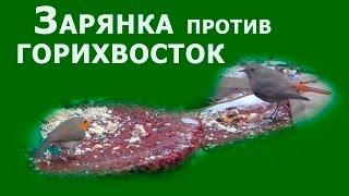 Зарянка против Горихвосток, или новые попытки скормить мучного червя зарянкам