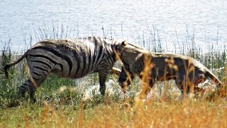 brave lion tackles pregnant zebra into the water to feed her cubs hunting battle from pilanesberg