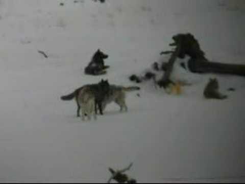 Yellowstone Druid Wolves I