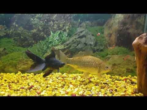 Чем кормить карася в аквариуме