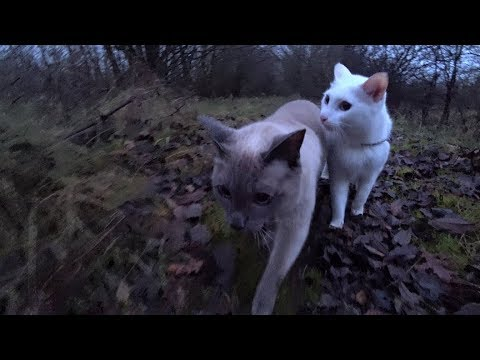 Siamese Cats walk in Gloomy Forest, Drive Home in Darkness & see shining Christmas Tree (Off Leash)