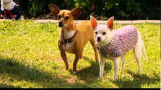 Extrait n°3 - Le Chihuahua de Beverly Hills 2 - le 7 février 2011 en Blu-ray, DVD et VOD