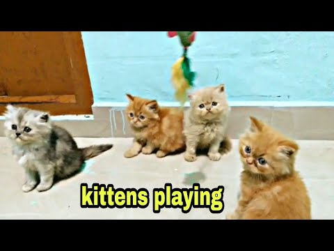 Persian cat breeding farm in india / persian cats for sale in india/ beautiful kittens funny playing
