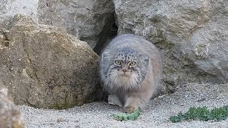 500万年都没进化的猫你见过么?可能会把人类当成食物