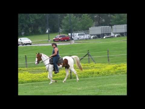Sorrel & White reg. National Spotted Horse