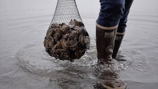 Oysters in Washington: Chelsea Farms