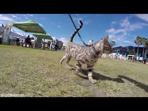 Как научить кошку ходить на поводке?