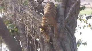 Tiger Charges At Jeep In Ranthambore-April 2016