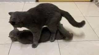 British shorthair cat mating