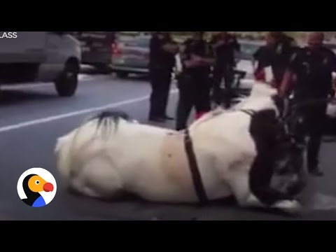 Carriage Horse Collapses After Carrying...