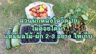 สวนผักหลังโดวิด-19 ไม่ค่อยได้มาแต่ก็โชคดีมีผลไม้และผัก 2-3 อย่าง ให้เก็บทาน - allotment (3 Aug.20)