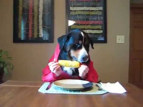 Bernese Mountain Dog Eating Corn On The Cob With Hands Youtube