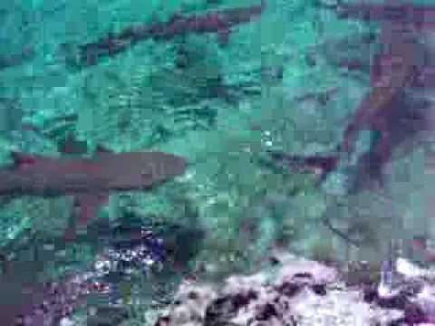wild sharks in the bahamas feeding them chicken