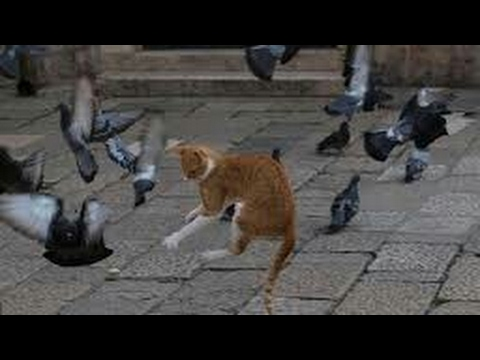 What to do, when cat attack to your pigeon, and the pigeon is alive | kabutar ka darrr kaise nikale