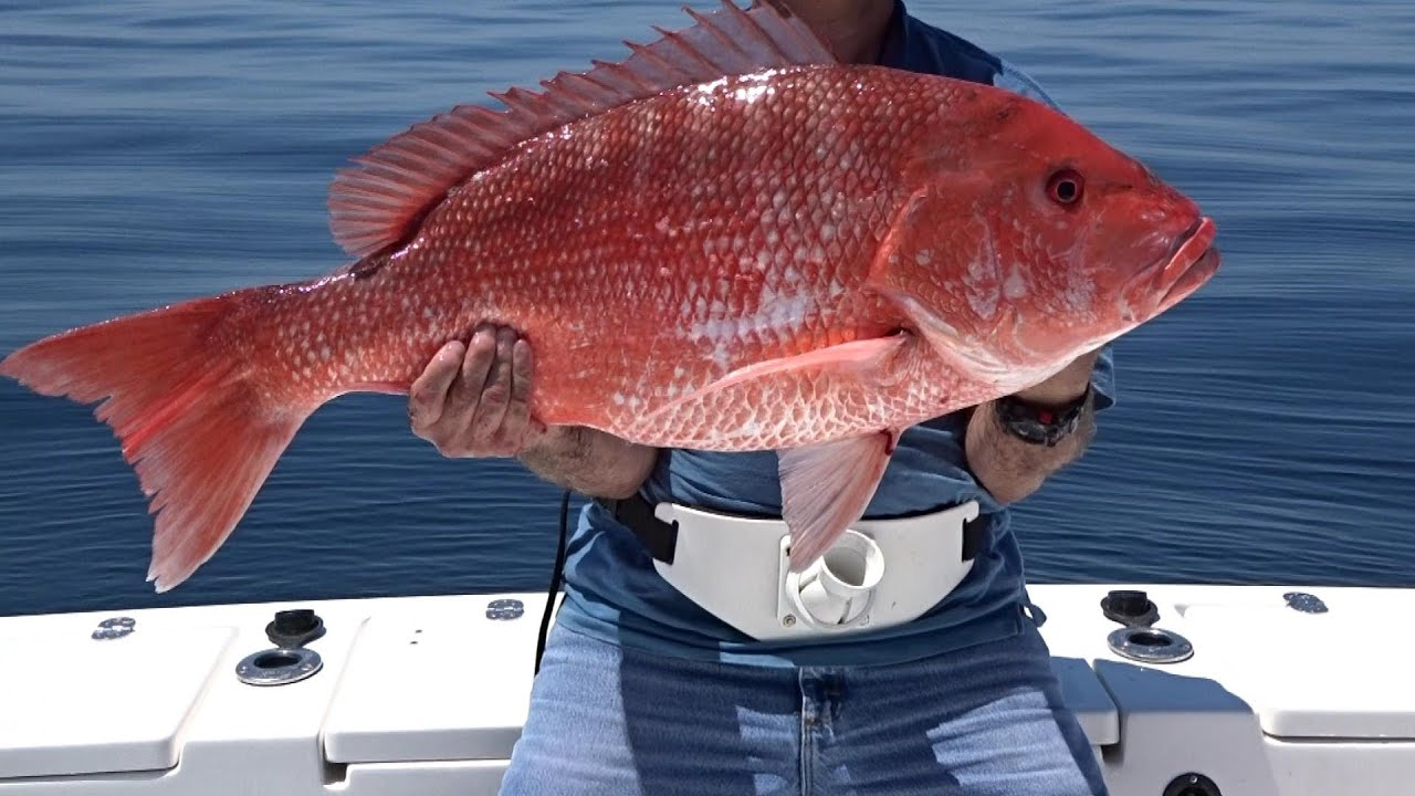 Snap zilla giant red snappers out of florida youtube for Snapper fish florida
