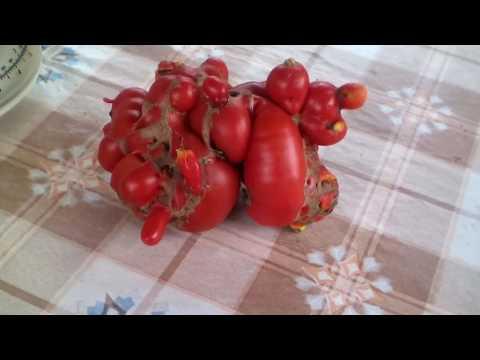 Чудо томат Русский размер.