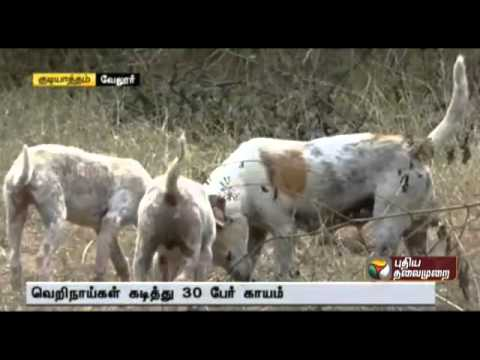 More than 30 attacked by stray  dogs in Gudiyatham