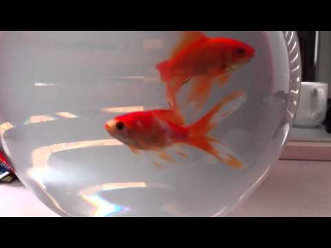 A Trip To The Goldfish Bowl