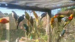 Chirping Red Rump parakeets