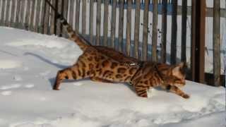 бенгальский кот Гришка. питомник BengaMur