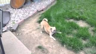 Sheba The Pug Carin Terrier Barking And Eating Grass