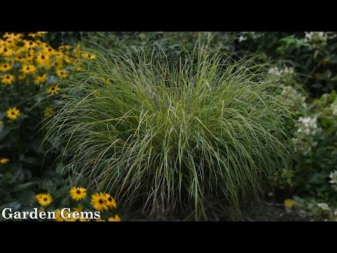 Pheasant's Tail Grass (Anemanthele Lessoniana, Aka Stipa Arundinacea)
