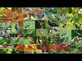 Gambar cover Suara pikat mp3 Segala Semua jenis burung 100% terbukti Sangat ampuh
