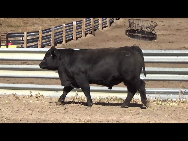 Connealy Angus Lot 138