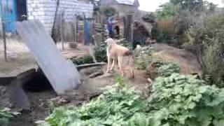 самые преданны что ни есть порода собак (молдавская пастушья овчарка)