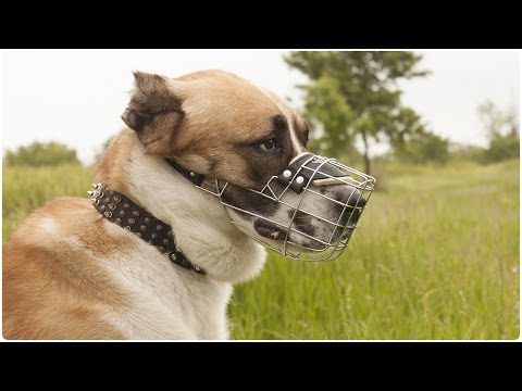 Central Asian Shepherd Dog walking safely in Perfectly Ventilated Wire Cage Dog Muzzle