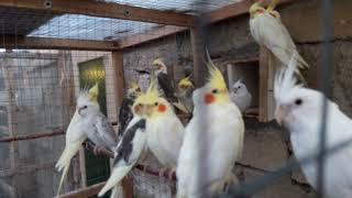 попугаи корелла.певчие.какарики.волнистики молодежь