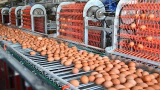 Incredible modern eggs chicken harvest farming technology. Amazing automatic poultry processing line