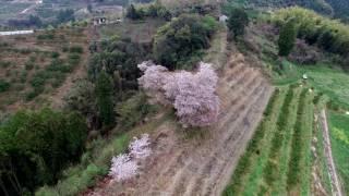 福岡県みやま市山川町に咲く、青々谷城尾桜の4K版です。 (2017年4月9日...