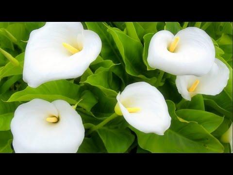 Белокрыльник – полезные свойства и применение