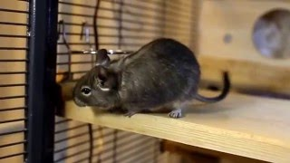 DEGU Running wheel