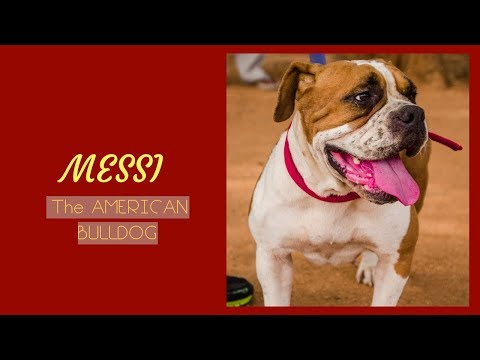 A walk with an American Bulldog || American Bulldog || American Bulldog in Hyderabad ||