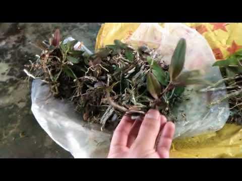 Dã Hạc Đăk Côi Kon Tum Gần Tuyệt Chủng Rồi | Orchid videó letöltés