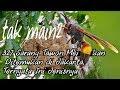 Tawon vespa Affinis Ditemukan di Jakarta, Waspada
