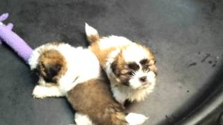 Shih Tzu Puppies Ready To Go Home!