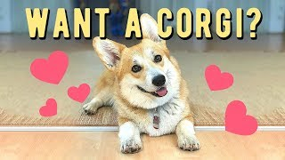 Want a Corgi? 7 things you don't know!