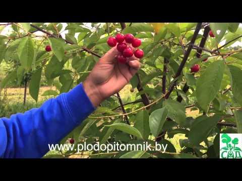Сорта вишни белорусские, краткое описание