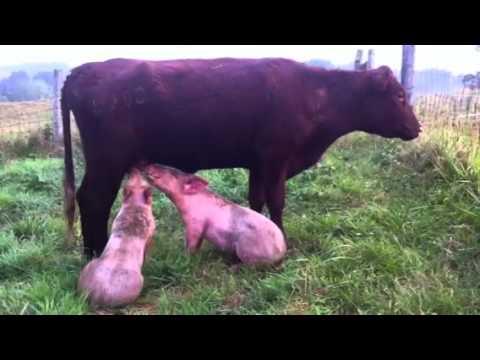Pig N Cow