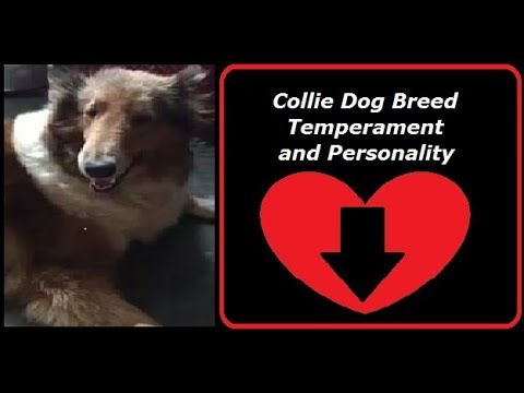 Collie Dog Breed Temperament and Personality