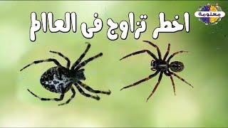 لن تصدق ما تفعله انثى العنكبوت بالذكر لكي يجامعها وما تفعله به بعد الجماع ؟