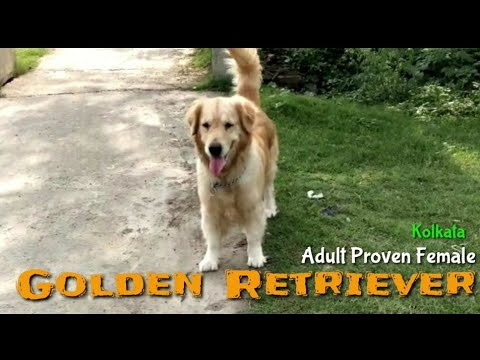 beautiful-adult-golden-retriever-female-ultimately-friendly-well-socialized-breed-for-family-&-elder