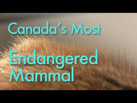 Canada's Most Endangered Mammal