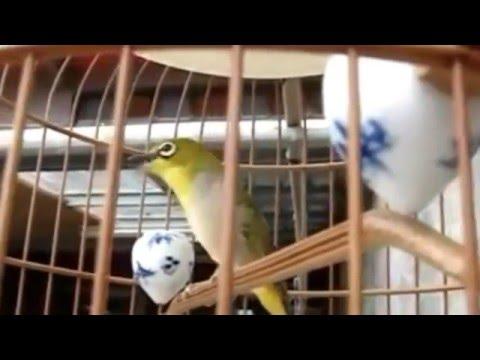 Burung Pleci Auriventer Lasrol