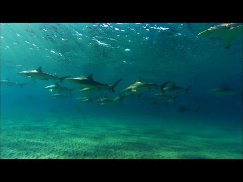 Shark Trek: Thousands of Blacktip Sharks Lure Great White to Shore | Shark Week 2015