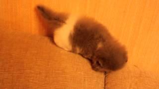 Персидский котенок (девочка)